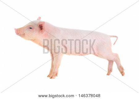 piglet on a white background, studio shot