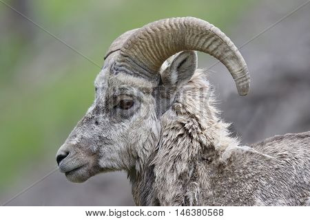 Closeup of a male Rocky Mountain Bighorn Sheep (Ovis canadensis) - Banff National Park Alberta Canada