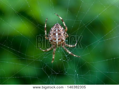 crusader spider on a spider web. Close up