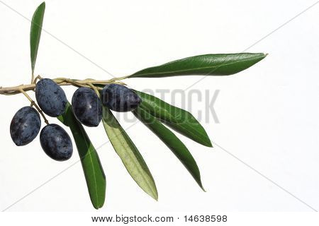 olives on branch isolated on white