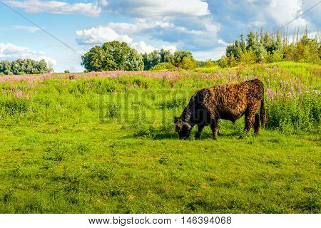 Impressive Galloway bull with a curly brown fur quietly grazing in a Dutch nature reserve with colorful wildflowers in the background. It is summer now.