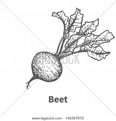 Vector illustration doodle black and white hand-drawn beet. Isolated on white background. The concept of harvesting. Vintage style.