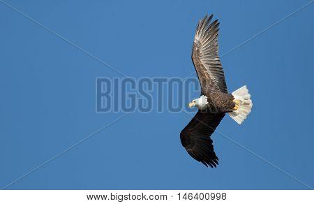 American bald eagle in flight. Scientific name Haliaeetus leucocephalus.