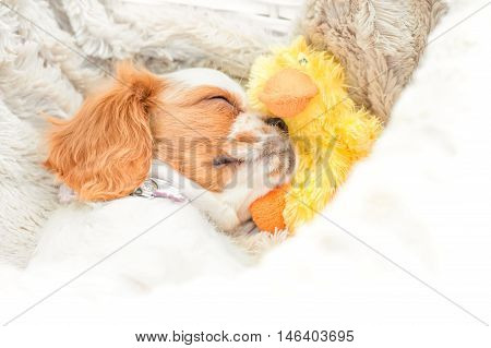 very cute spaniel puppy hugging a toy duck while sleeping