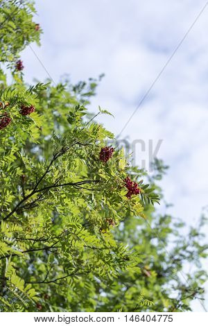 Rowan Tree with Fruit and a cloudy background.