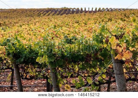 Autumn colors of a Napa California vineyard at harvest. Rows of green, orange, yellow grapevines in Napa Valley in fall. Wine country with soft focus on distant vines.
