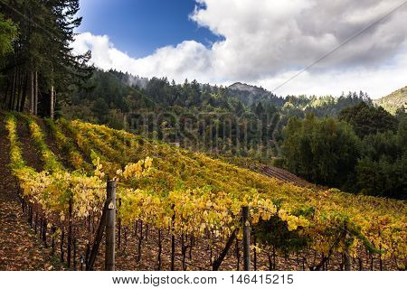 Small Napa vineyard in autumn with mountains and trees on a sunny day. Yellow, green vines at harvest time in Napa Valley wine country. Family run winery on Mount Veeder.