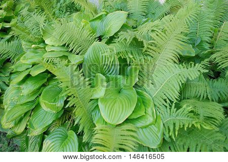 Close up of a Hosta sieboldiana and fern. Gardening background
