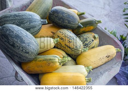 Zucchini and vegetable marrows in a wheelbarrow for harvesting