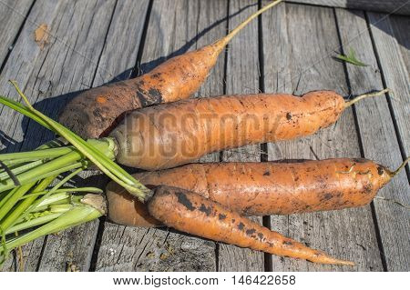 Collected carrots with a green tops of vegetable