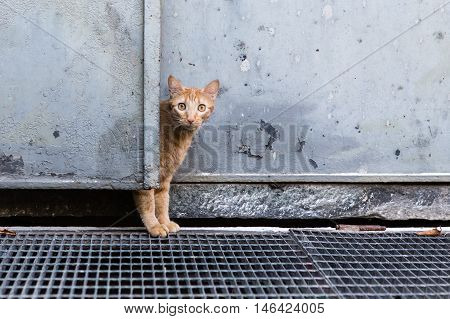 curious red cat behind a door, outdoor