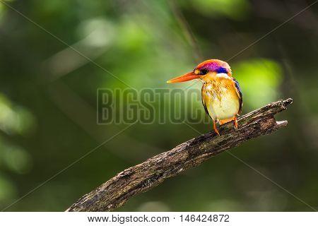 Black-backed Kingfisher Bird