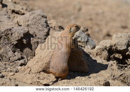 A prairie dog relaxing in the dirt