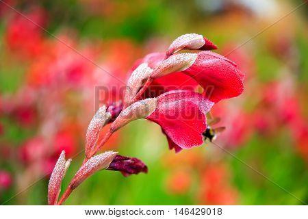 Gladiolus Flower In The Garden, Dunedin