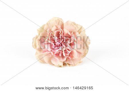 Carnation Sim Lady Dayana isolated on white background