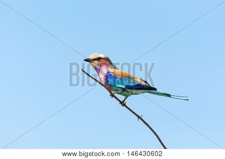 Lilac-Breasted Roller in a branch in the Chobe National Park in Botswana Africa