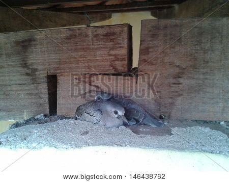 filhotes de rolinhas livres em alpendre de minha casa
