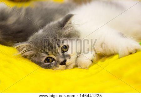 purebred sad cat is sad looking eyes