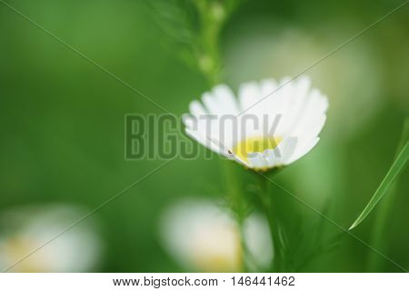 daisy flowers in summer day closeup photo, shallow focus