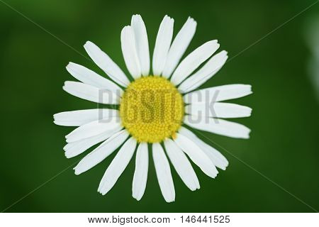 daisy flower from above closeup photo, shallow focus