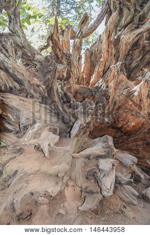 Root System: close-up view of a decomposing tree, with root system
