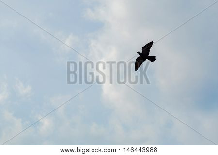 Silhouette of the Bird of Prey in flight on the sky