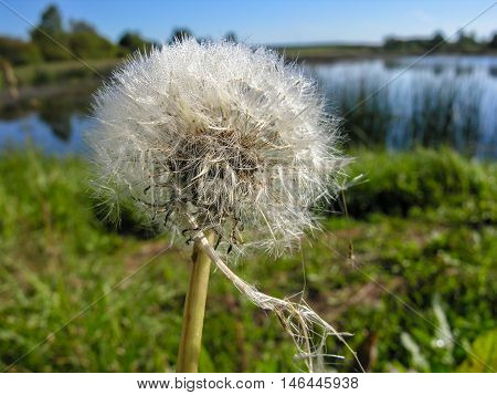 Wet fluffy dandelion seeds with umbrella on the shore of the lake