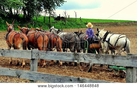 Lancaster County Pennsylvania: - June 6 2015: Amish youth tilling a field on the family farm pulled by a team of six donkeys *