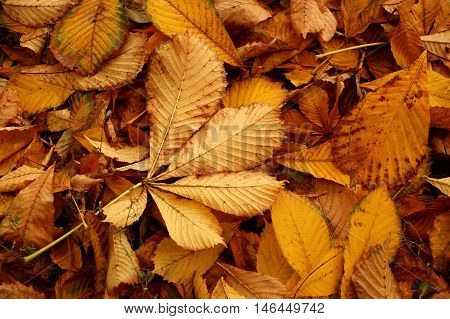 Carpet from autumn leaves of a chestnut of a yellow tonality