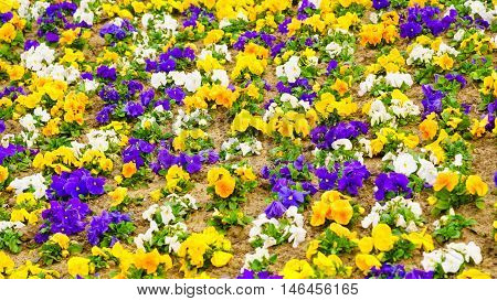 Blooming pansies pansy flower flowers. Colorful colorfoul spring nature background or texture.