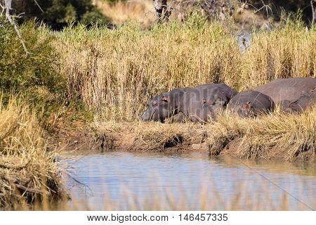 Herd of hippos sleeping along river from Pilanesberg National Park South Africa. Safari into wildlife. Animals in nature