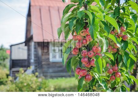 Trees with red and green apples in an orchard