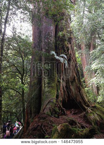 Taiwan Red Cypress Alishan Chiayi City Taiwan primeval forest