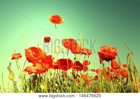 poppies (papaver rhoeas) in the field; shallow depth of field; toned photo