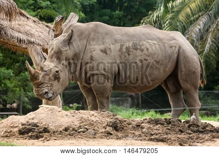 the rhino stand alone among the nature