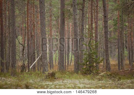 Beautiful tall pinetrees at the edge of a dense forest on a cloudy autumn day