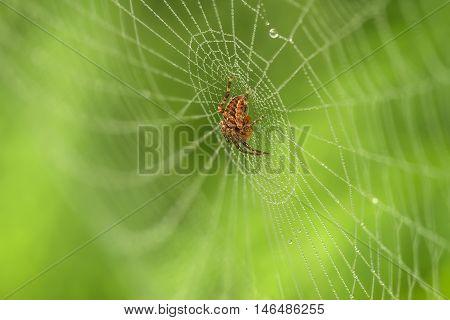 Spider In White Webs