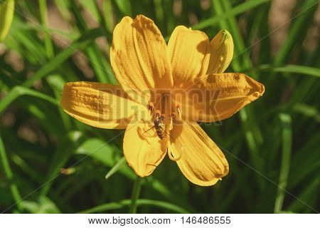 Beautiful yellow lily flower in the garden.