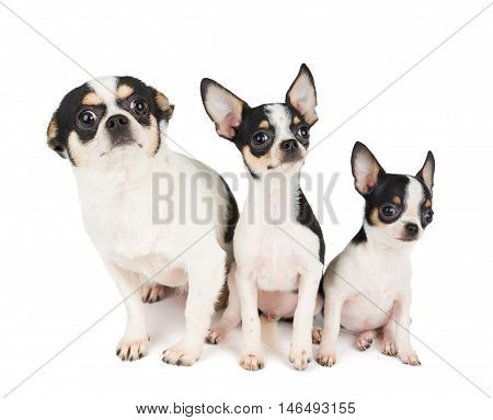 Two puppies of Chihuahua and their mother with wide amazed eyes sit on white isolated background. All of them are black and white.