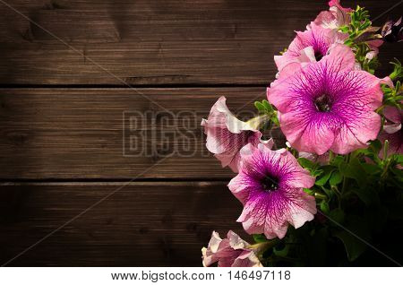 Beautiful Pink Petunias