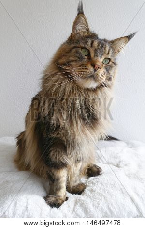 Adorable brown tabby Maine Coon sitting upright and looking curious.