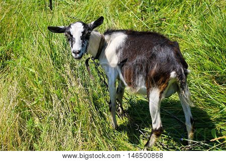 Small goat grazing on the green pasture