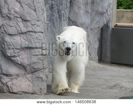 Portrait of walking Polar Bear, Hokkaido, Japan