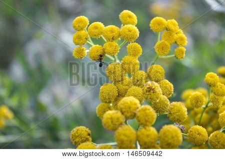 Ant on yellow round flower, nature background