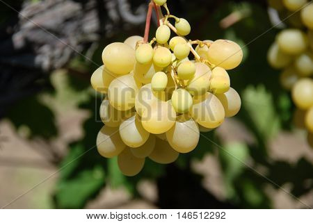 Branch of ripe beautiful juicy yellow grapes growing in a vineyard - a time to harvest and make wine