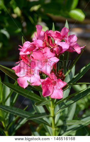 close up pink nerium oleander flower in nature garden