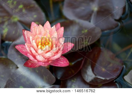 close up pink waterlily flower on fish pond