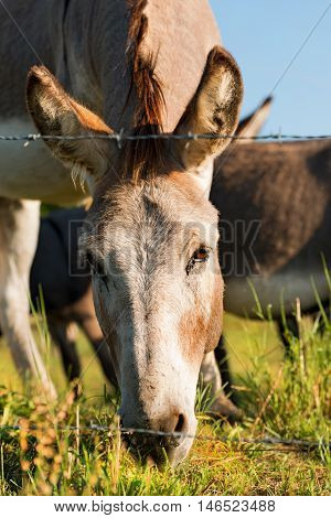 Close up of a brown and white donkey looking at camera while eating the green grass of a meadow