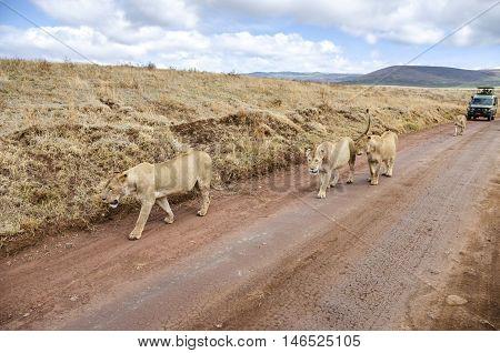 Ngorongoro Tanzania - November 6 2012: Lions walking on the road in front of safari car