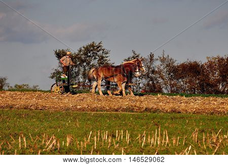 Lancaster County Pennsylvania - October 15 2015: Amish farmer rtding a small tiller drawn by two donkeys working a field